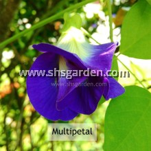 Single/Multipetal Blue Pea Flower Seeds (Butterfly Pea / bunga telang)