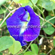 Blue Pea Flower Seeds (Butterfly Pea /bunga telang)