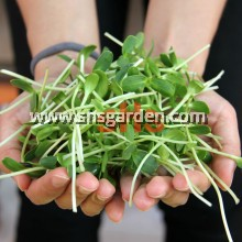 Sunflower Microgreen Seeds 50g Non-GMO SHS KEBUN